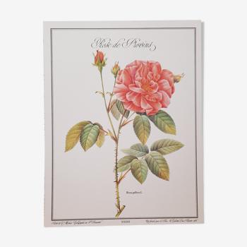 Planche botanique Rose de Provins