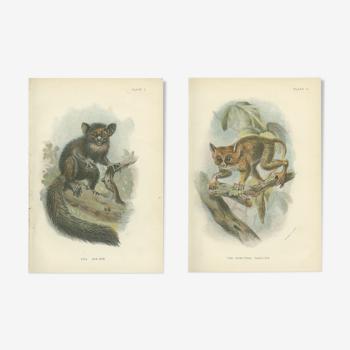 Planches de primates Anciennes: Aye-Aye et Tarsier Spectral