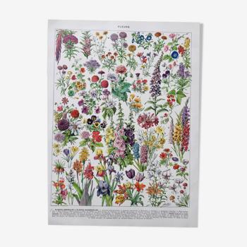 """Illustration ancienne Millot """"Fleurs annuelles ou bisanuelles"""""""