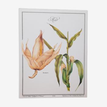 Planche botanique  Maïs