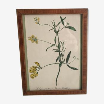 Planche botanique encadrée 1878