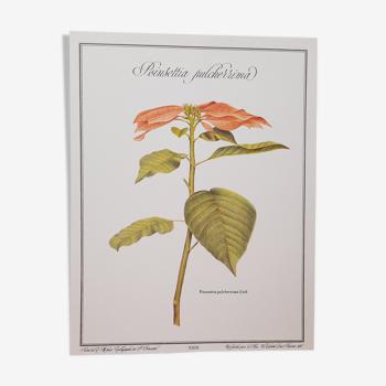 Planche botanique poinsettia