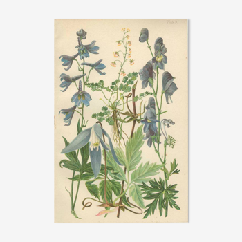 Botanical plate: Delphinium, Clematis, Buttercup, Monkshood