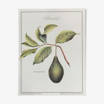 Planche botanique l'avocatier