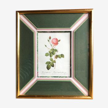 Ancienne lithographie planche botanique rose cent feuilles