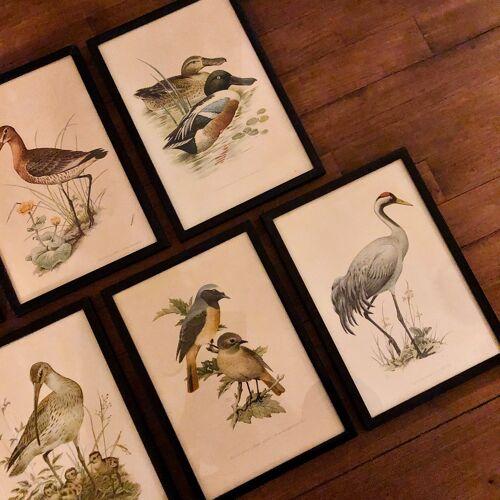 Sept illustrations ornithologiques de John Murr
