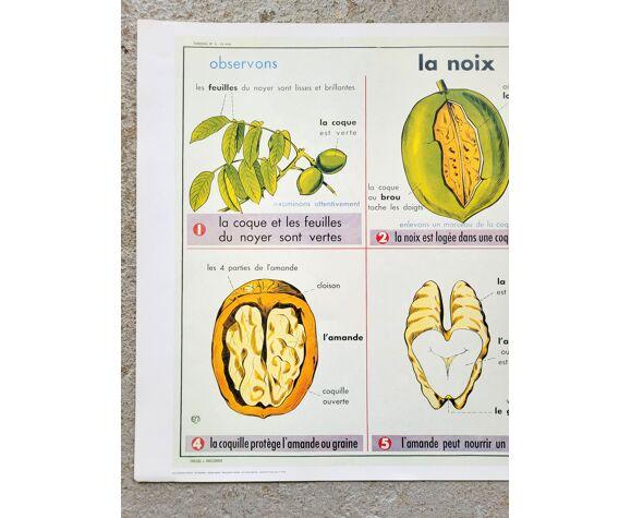 Affiche d'école La noix