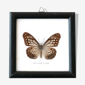 "Showcase frame, naturalized butterfly ""The blue tiser"", 60s"