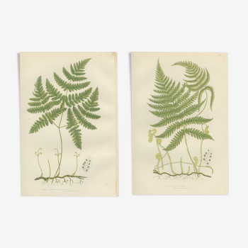 Botanical plate of ferns: pale mountain polypode, tender three-pointed polypode