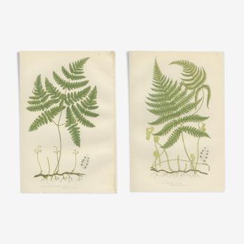 Planches botanique de fougères polypode de montagne pâle, tendre polypode à trois branches