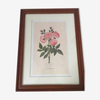 Gravure rose ancienne Laure Davoust