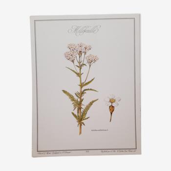 Planche botanique Millefeuille