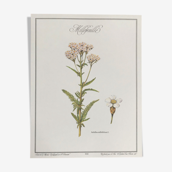 Planche botanique le Millefeuille