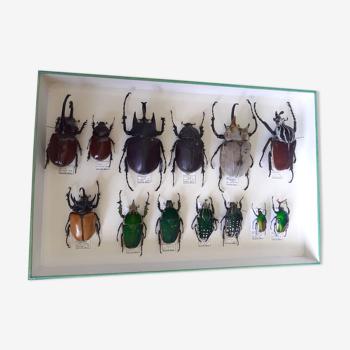 Collection de scarabées rares provenant des 4 coins du monde - excellent état