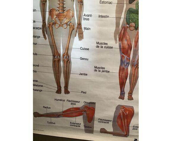 Planche anatomique