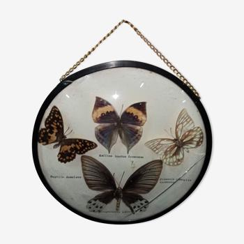 Cadre rond verre sorcière papillons taxidermie