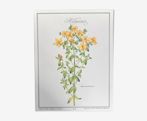 Planche botanique le Millepertuis