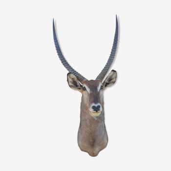 Massacre de Gazelle Kob Defassa