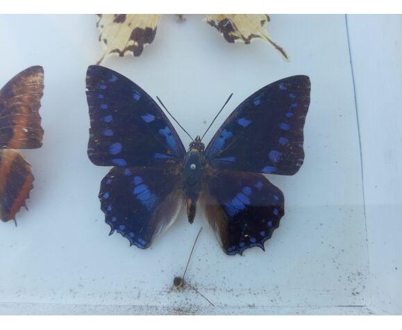 2 cadres de papillons naturalisés