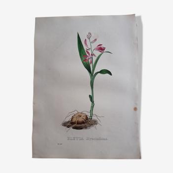 Planche botanique Bletia Hyacinthina, lithographiée et coloriée,  Sertum Botanicum 1832