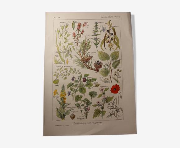 Planche botanique - plante - Calmantes