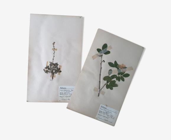 Les herbiers d'Anders planches d'herbier ancien suédois