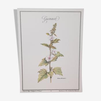 Planche botanique Saponaire