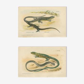 Ensemble de 2 planches reptiliennes, 1893, Divers lézards :