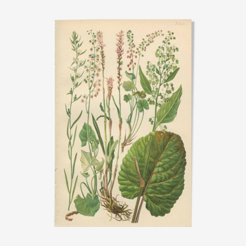 Botanical Plate 1906: Buckler Sorrel, Alpine Quay, Rhubarb of the Monks, Bistort