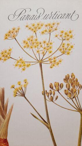 Planche botanique Panais Urticant