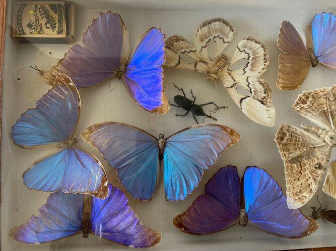 Boite ancienne d'entomologie aux papillons et insectes