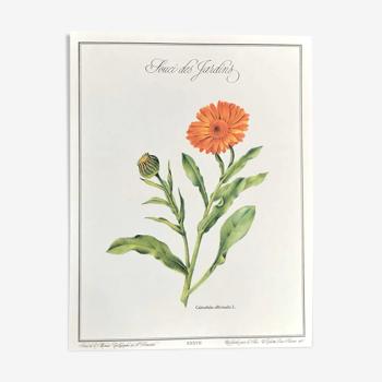 Planche botanique le souci des jardins