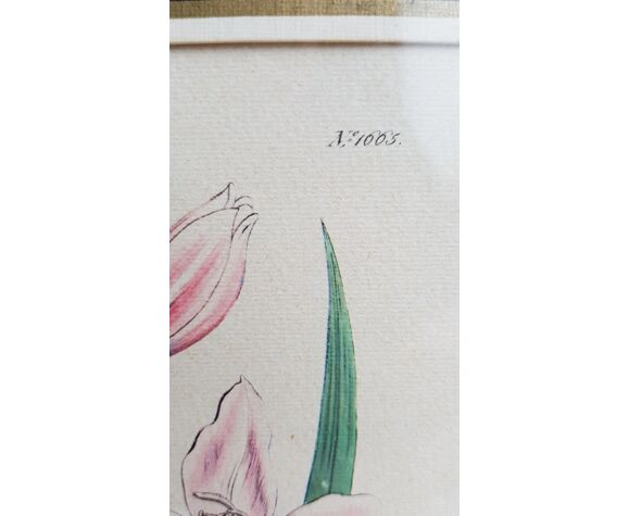 Affiche botanique signée Edwards Del