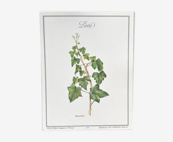 Planche botanique le lierre