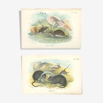 Planches d'histoire naturelle : Des rats noirs  et des souris des bois, par Richard Lydekker