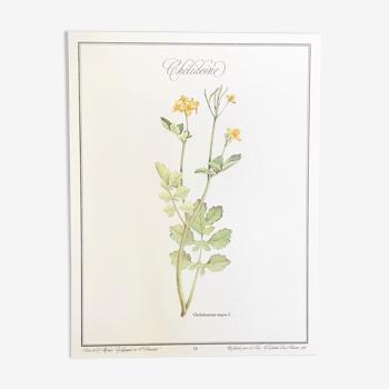 Planche botanique la chélidoine