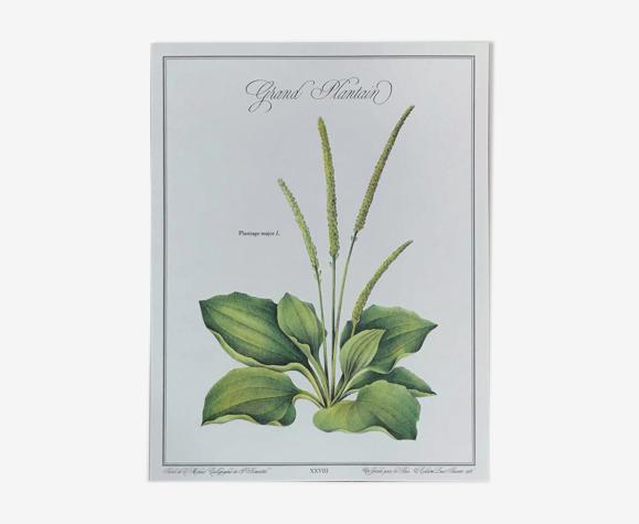 Planche botanique le plantain