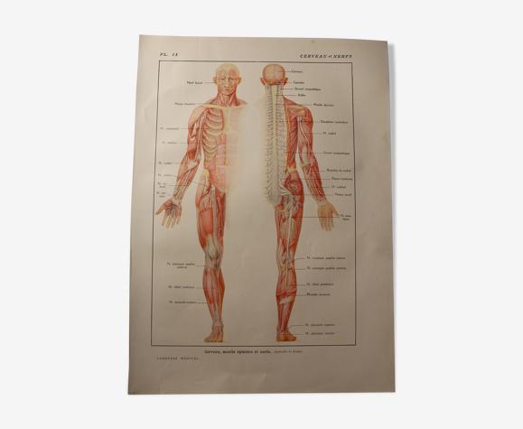 Planche médicale anatomie le cerveau et nerfs