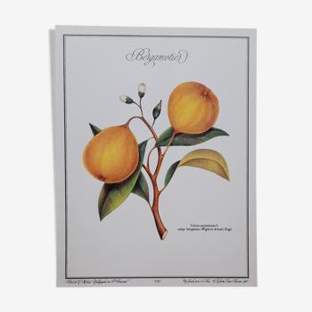 Planche botanique Bergamotier