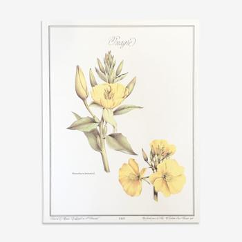 Planche botanique l'Onagre