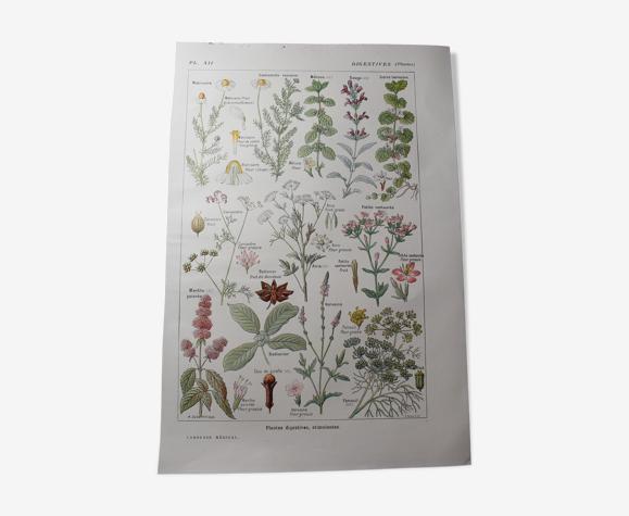 Planche botanique plante digestive