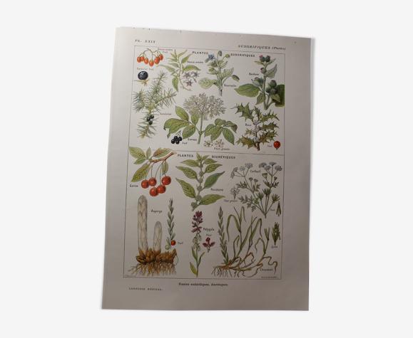 Planche botanique plante sudorifiques