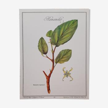 Planche botanique hamamelis
