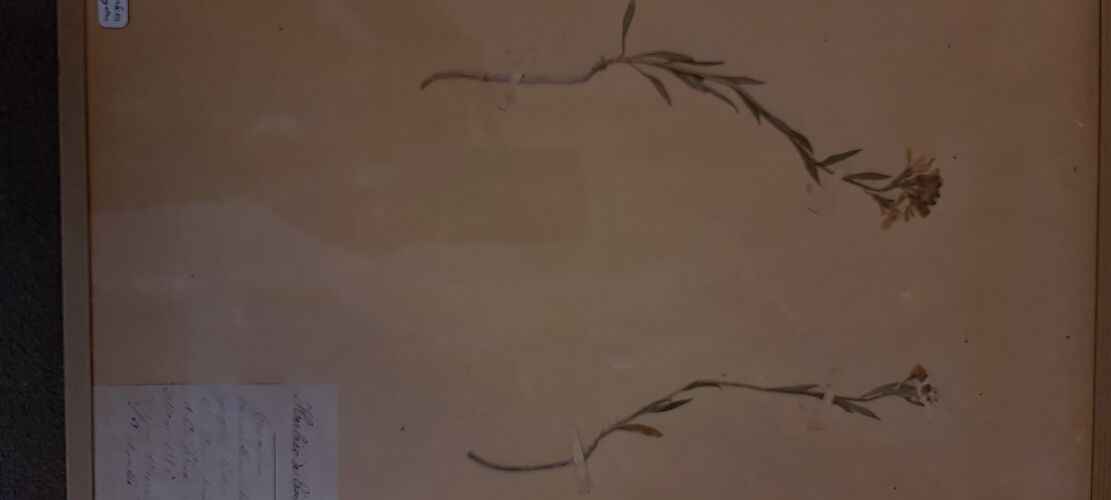 Planche d'herbier 19ème