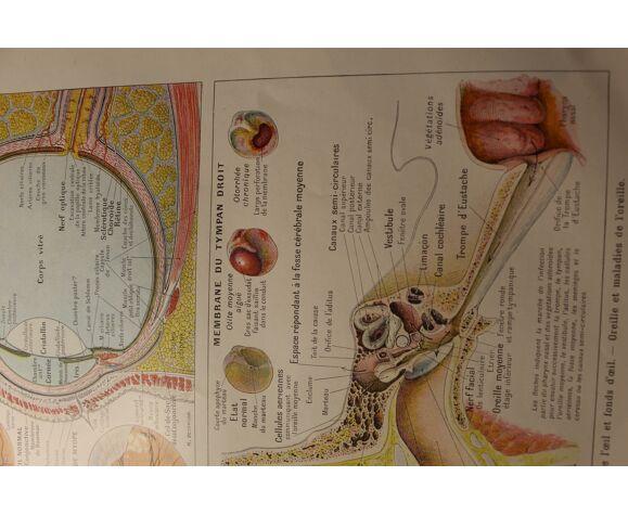 Planche médicale anatomie l'oeil