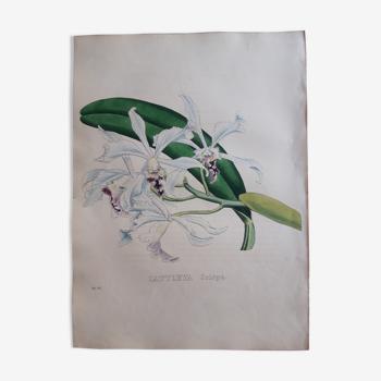 Planche botanique Cattleya Crispa lithographiée et coloriée,  Sertum Botanicum 1832