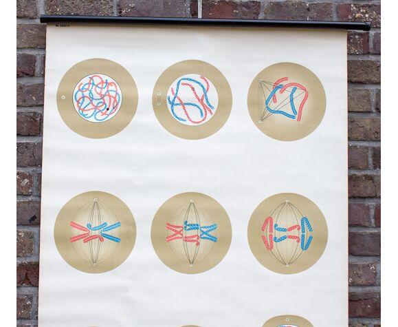 Carte scolaire la division cellulaire
