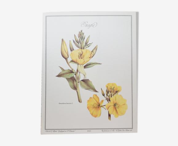 Planche botanique Onagre
