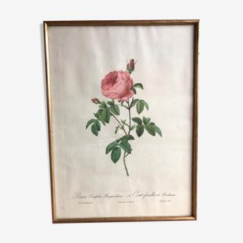 Ancienne lithographie planche botanique rose cent feuilles bordeaux vintage