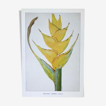 Planche botanique Heliconia Caribaea